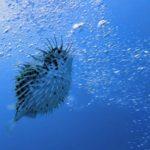 <em>Harisenbon</em> (ハリセンボン – Porcupinefish)